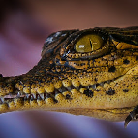 Baby crocodile by David Botha - Animals Reptiles ( crocodile, wild, wildlife,  )