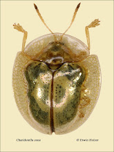 Photo: Charidotella zona, 4,3mm, Costa Rica, La Cruz (11°07´/-83°36´), leg. Erwin Holzer, det. Lech Borowiec
