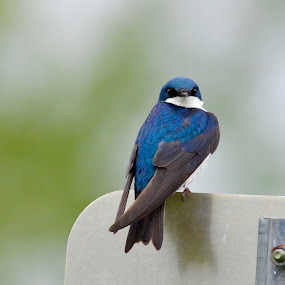 Tree Swallow close by Jeff Sluder - Animals Birds ( swallows,  )