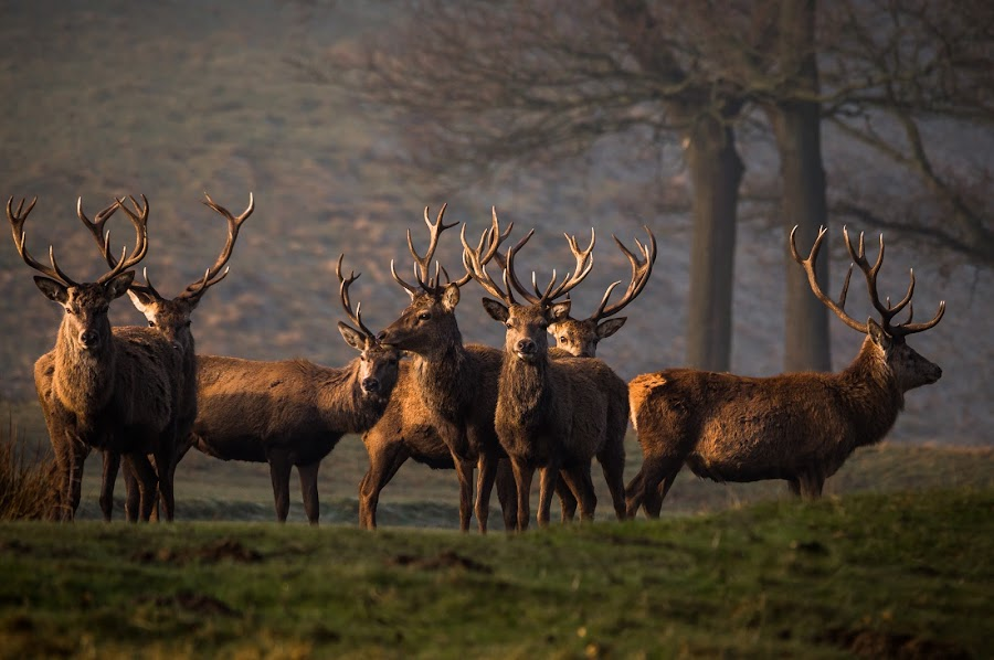 On the look out by Gaz Lomas - Animals Other Mammals ( stags, red deer, red deer stags, peak district, deer )