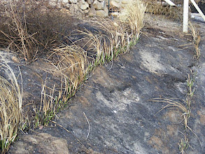 Photo: USA - California. In the devastating California fires in November 2008 this vetiver hedgerow as burnt by a very hot fire. After 1 week some regrowth is visible - Doug Richardson