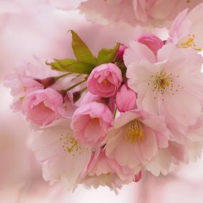Springtime by Alena Ajaja Koutná - Flowers Tree Blossoms