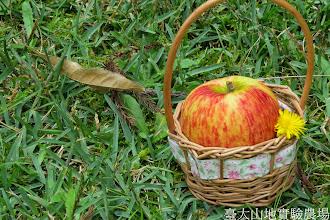 Photo: 拍攝地點: 梅峰 拍攝植物: 津輕蘋果 與 貓兒菊 拍攝日期: 2014_09_26_FY