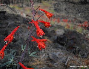 Photo: Red Larkspur in the lava fields of Sugarloaf mountain, Lassen Nat'l Forest.