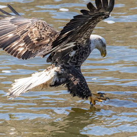 Dinner is served  by Loren Holloway - Animals Birds ( raptor, birds of prey, eagle, wildlife, oklahoma wildlife )