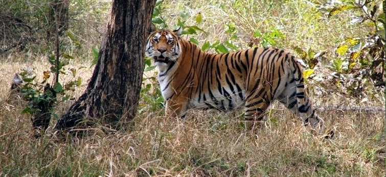 Pench National Park (Best Adventurous Place for Tiger Safari in India)