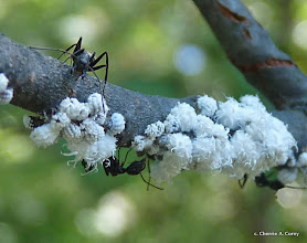 Photo: Ants and wooly aphids on alder branches