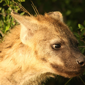 YOUNG HYENA by Sandra Mcgowan - Animals Other Mammals ( kruger park, fiercely protective of the clan, south africa, dog like, hyena cub )