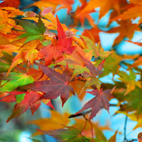 Ohhhh the colors by Scott Hemenway - Nature Up Close Leaves & Grasses ( red, tree, color, autumn, blue, green, yellow, leaf, vibrant, leaves, nature, fall, abscission, folliage )