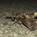 Large Paectes Moth