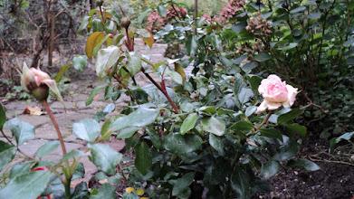 Photo: pierwsza różyczka się otwarła