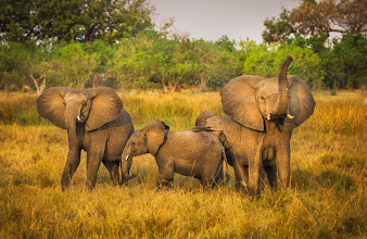 Photo: Look at this beautiful family of elephants we found by accident while we were tracking a pride of lions last week... That one has her trunk lifted into the air to smell us!