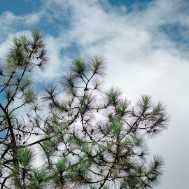 Pine tree and the Sky by Sherisse Condenuevo - Nature Up Close Trees & Bushes ( blue sky, pine tree, green, pine, blue, bright sky, pine cone, tree, pine cones, clouds, brown, pine tree and pine cones )
