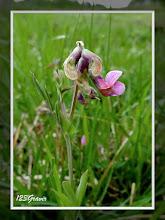 Photo: Gesse des montagnes, Lathyrus linifolius var. montanus