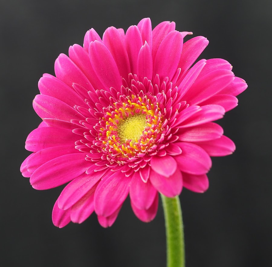 A Shock to the System by Gillian James - Flowers Single Flower ( hot pink, daisy, stamen, close up, gerbera, flower )