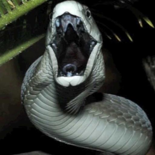 Black Mamba Snake Videos (app)