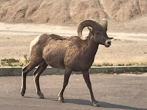 Photo: Bighorn ram we spotted by the road. (photo by Rita)