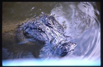 Photo: Alligator bayou