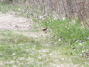 Photo: Brown Thrasher