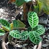 Zebraplant