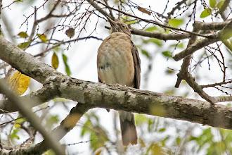 Photo: White-throated Thrush