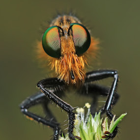 Robber Fly by Bhavya Joshi - Animals Insects & Spiders