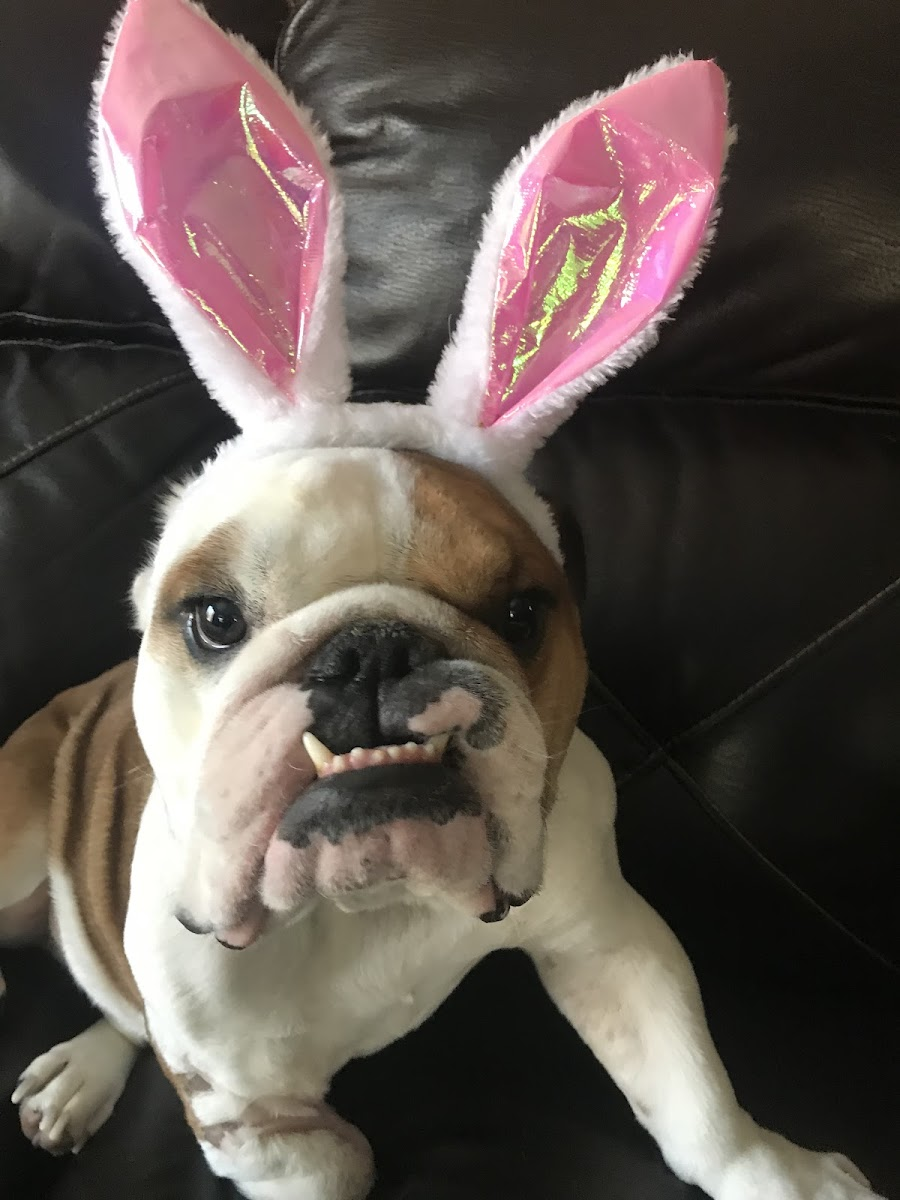 Walter the Easter Bulldog