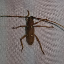 Ivory-marked longhorn beetle