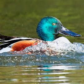 00 Duck 99756~Q by Raphael RaCcoon - Animals Birds