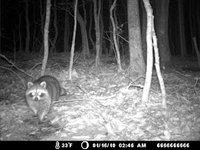 Photo: Elizabeth Islands - raccoon