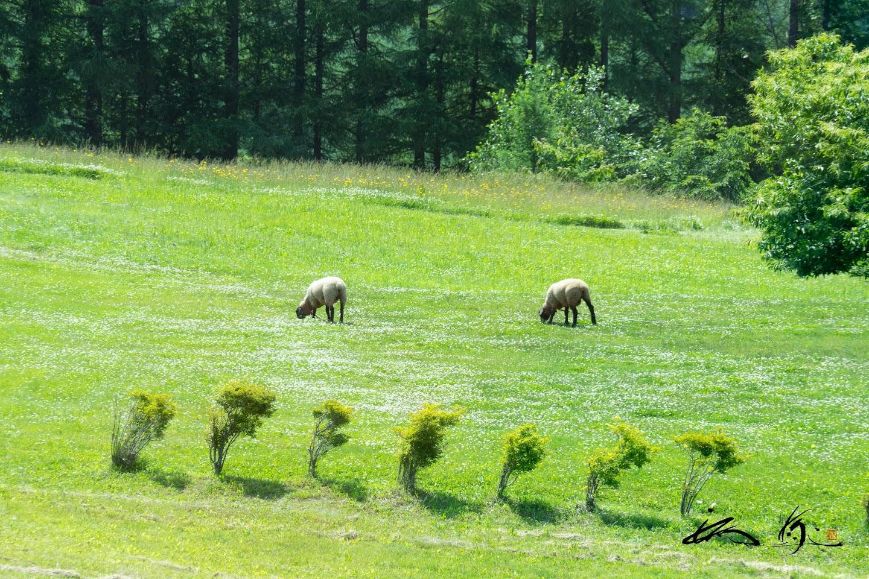 シープちゃんが戯れる草原