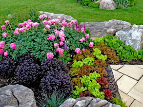 Photo: Peonies, Barberry and, yep, that's lettuce lookin' lovely. Edible have a place in the ornamental garden and, by mixing them in with ornamentals, you'll have a better predator/prey relantionship and less problems.