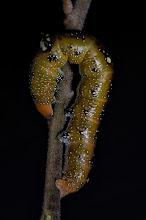 Photo: A caterpillar in the garden - Melbourne 2011