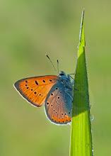 Photo: Cuivré Des Marais, Lycaena Dispar, Large Copper  http://lepidoptera-butterflies.blogspot.com/