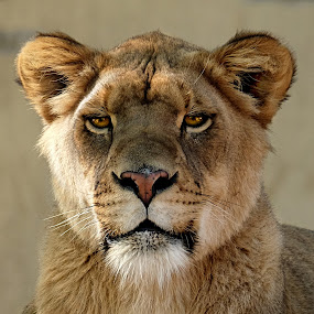 by Shawn Thomas - Animals Lions, Tigers & Big Cats ( pride, predator, lion, cat, carnivore, mane, lioness, wildlife, king, large,  )