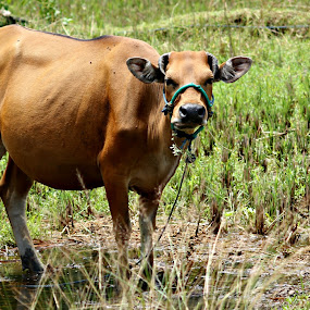 Brown cow by Travis Borland - Animals Other Mammals ( rice field, cow, brown, mammal )