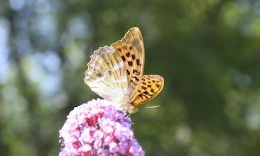 Photo: Argynis paphia        Lepidoptera Nymphalidae