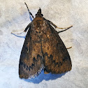 Pyralid Moth