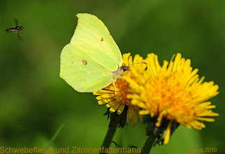 Photo: example of a macro shot - Schwirrfliege & Zitronenfalter und Butterblume