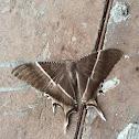Giant Swallowtail Moth