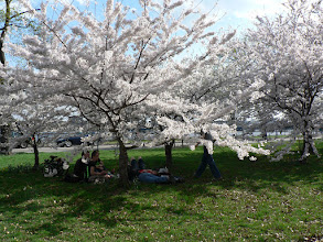 Photo: Near MIT - Ohanami