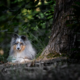 sheltie by 'Monique Smit - Animals - Dogs Portraits ( sheltie, forest, outside, dog,  )