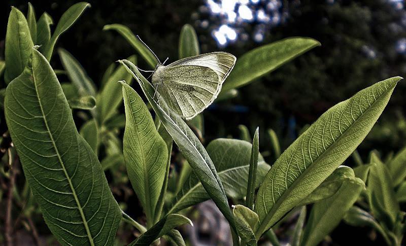 mariposa di kaos