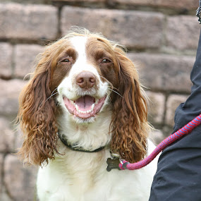 smile please by Kate Russell - Animals - Dogs Portraits ( haooy, spaniel, pet, show, cute, smile, dog )