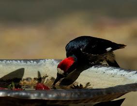 Photo: Adult male Acorn Woodpecker drinking from a bird bath, Madera Canyon, Arizona
