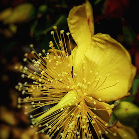 Rose of Sharon by Billy Kennedy - Instagram & Mobile Android ( rose, bloom, yellow, flower )