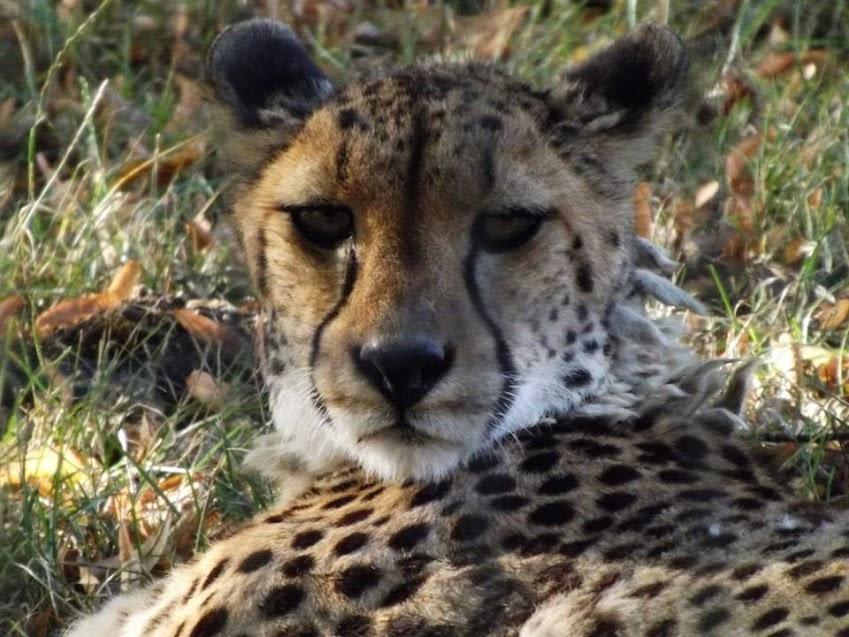 Guépard d'Afrique du Sud, Parc des Félins - Tous droits réservés
