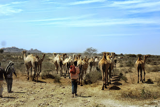 Photo: Camels on our way to Arba Minch