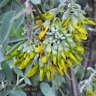 Mediterranean stinkbush / βρωμοκλάδι