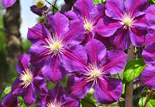 Photo: Clematis 'Star of India' 2